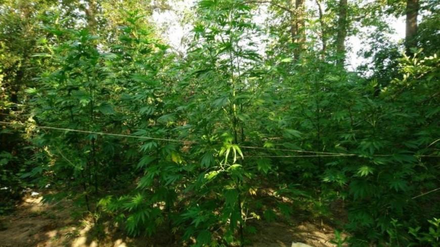 Puy-de-Dôme : une plantation de près de 100 pieds de cannabis détruite à Maringues