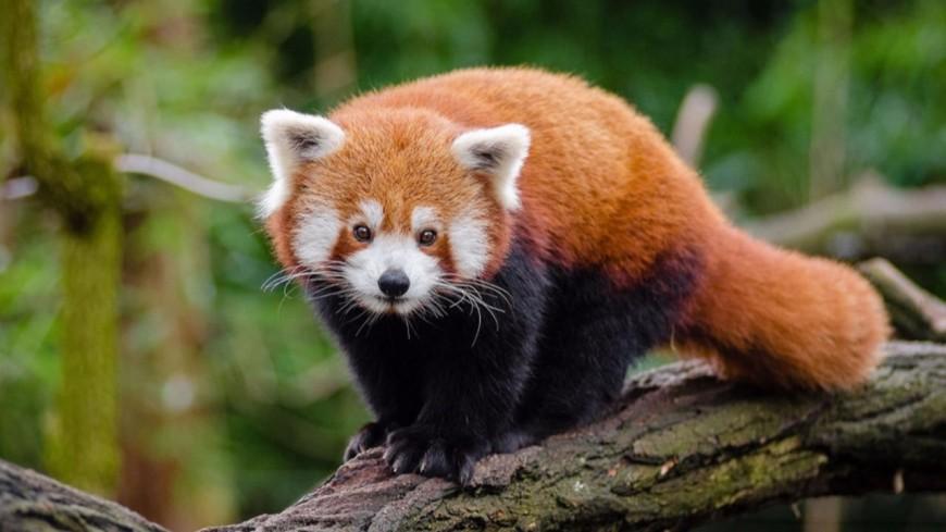 Le parc animalier d'Auvergne lance une tombola pour protéger les pandas roux