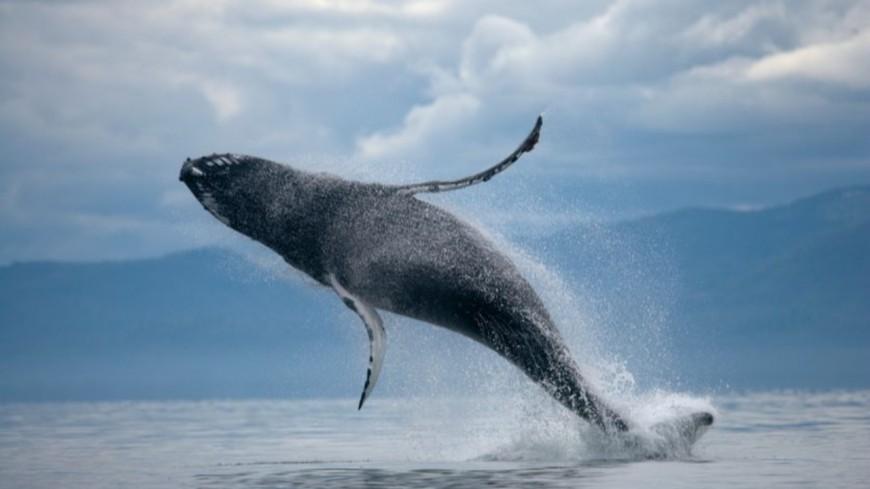 Insolite - Cet homme a été avalé, puis recraché par une baleine !