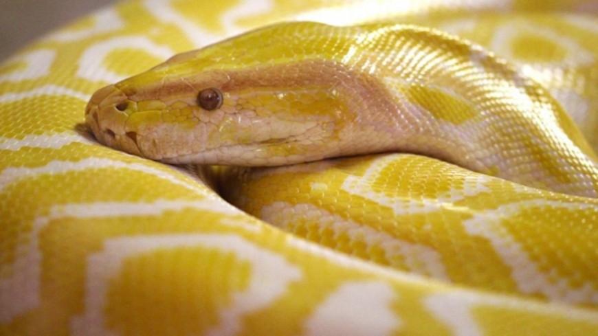 Insolite - Un homme mordu par un phython caché... dans la cuvette ! (photos)