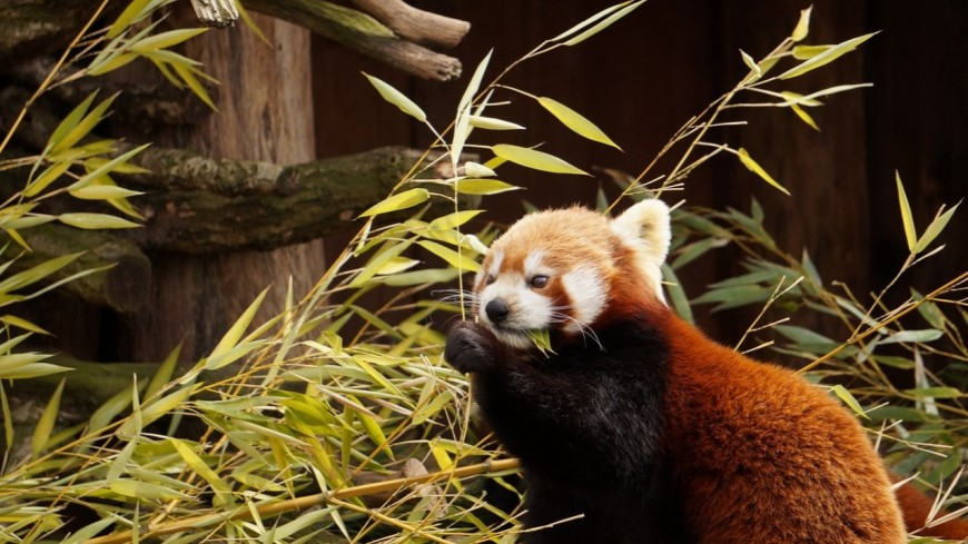 Naissance au Parc Animalier d'Auvergne : deux bébés pandas roux