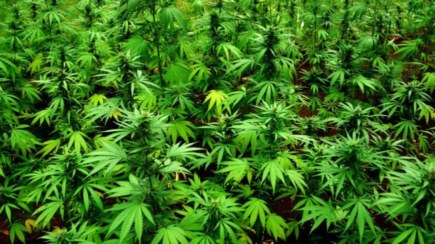 Clermont-Ferrand : La police saisit 130 pieds de cannabis au pied du puy de Crouel