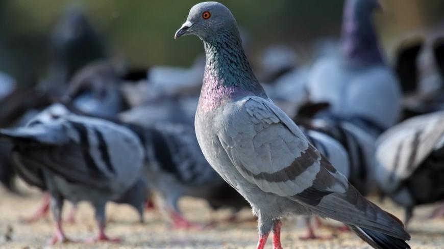 Clermont-Ferrand : les pigeons bénéficient de contraceptifs