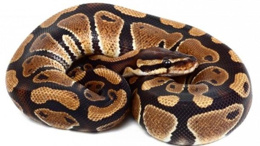 Clermont-Ferrand : Un python royal retrouvé dans un hall d'immeuble en centre-ville